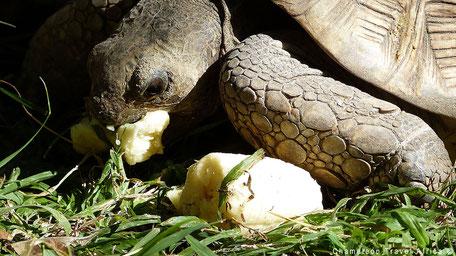 Grote schildpad eet banaan
