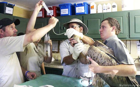 Roofvogel medicijnen toedienen
