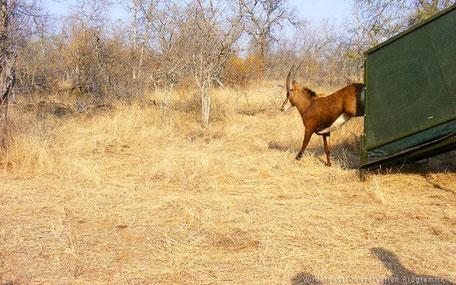 Bevrijden herstelde antilope