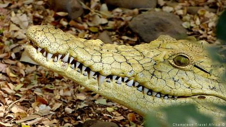 Krokodil geel in rehab