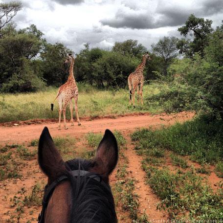 Op je paard tussen de wilde dieren