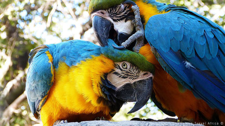 Papegaaien in Zuid-Afrika