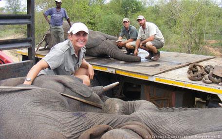 Vervoer van olifanten