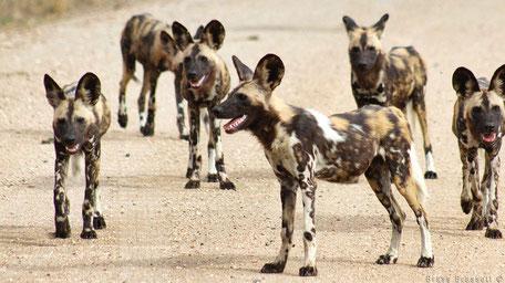Wilde honden in Kruger National Park
