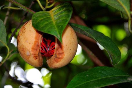 Myristica fragrans - Muscade - LCC 3.0 - Myristicacée