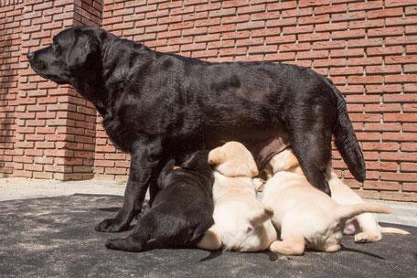 Die Welpen trinken bei der Mutter. Bild deutzmann.net