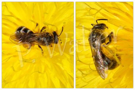 09.07.2016 : Wildbiene an einer Blüte des Wiesen-Pippau