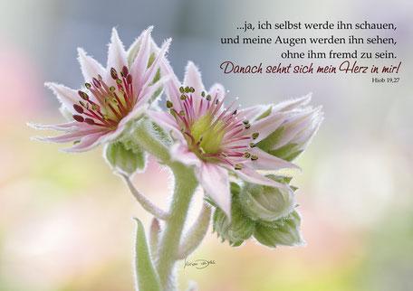 Hauswurz, Hiob, Bibel