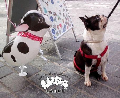 Folienballon Bulldogge Airwalker mit Ballongas