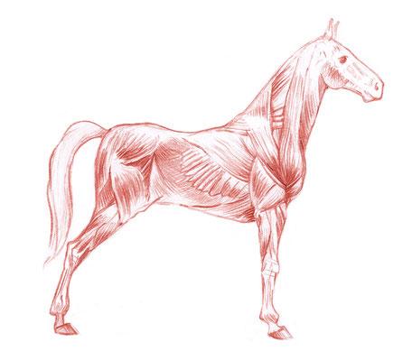 Die Analyse der Faszienstruktur des Pferdes