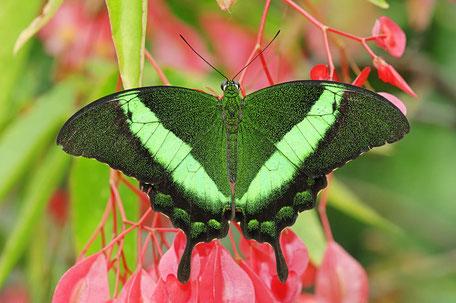Fotos von Schmetterlingen aus aller Welt /  Photos of butterflies from all over the world