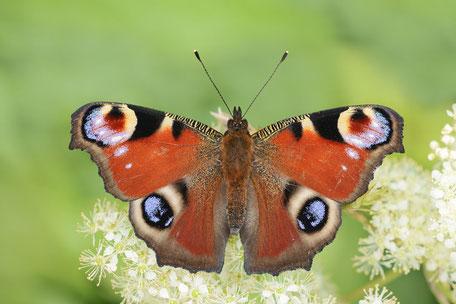 Fotos von Schmetterlingen aus Europa /  Photos of butterflies from Europe