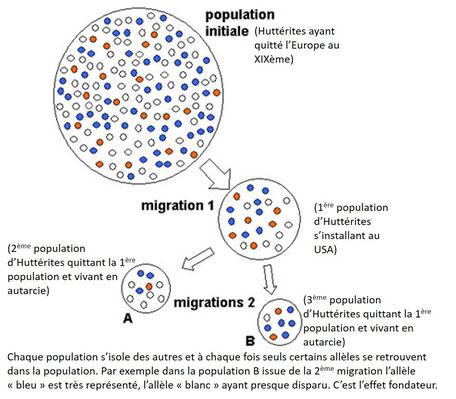 Schéma expliquant l'effet fondateur en lien avec la dérive génétique des populations. Plus les groupes d'individus sont petits et plus ils divergent rapidement desp opulations initiales. Source: modifié de http://www.futura-sciences.com