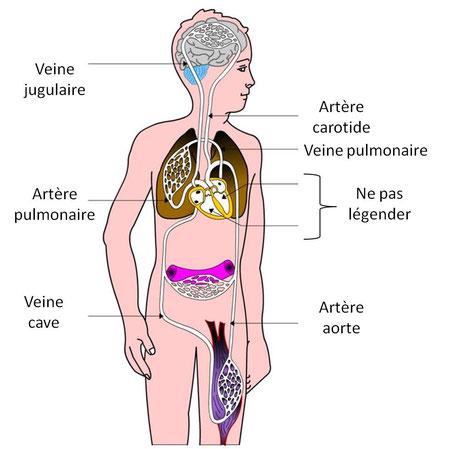 L'appareil circulatoire chez l'Homme.