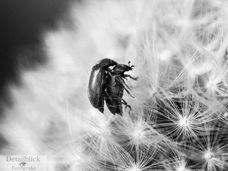 Käfer bei der Paarung auf Pusteblume
