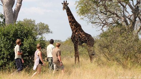 Walking across giraffe in the bush