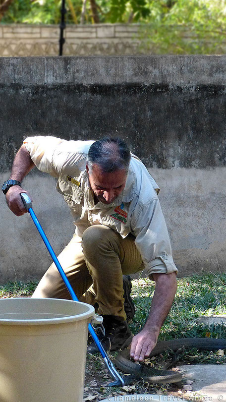 Snake handling black mamba