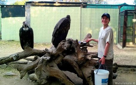 Feeding vulture in rehab South Africa
