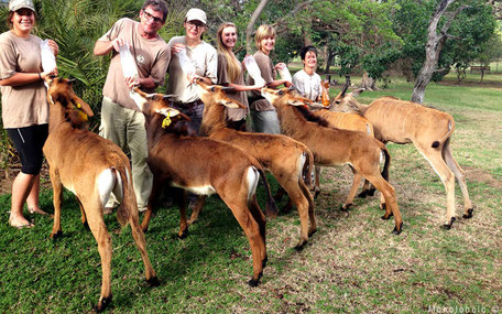 Feeding antilope in rehab