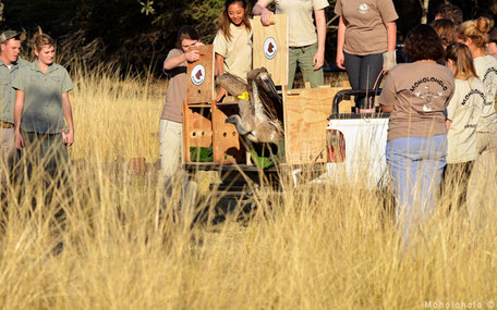 Release vulture after rehab South Africa
