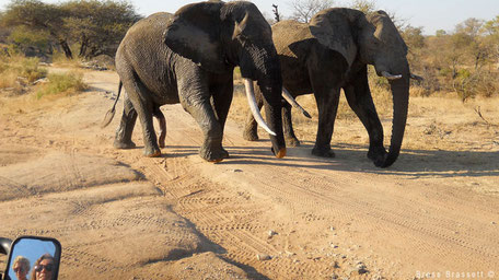Elephants during bushdrive