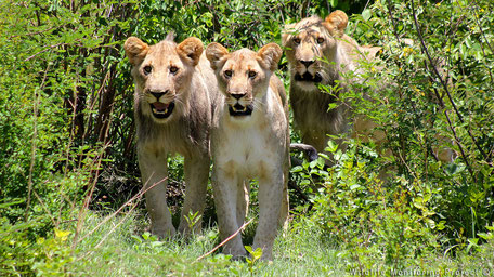 3 Young lions