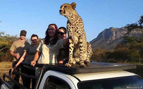 Cheetah on roof of car with volunteers