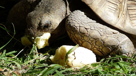 Turtle eating banana
