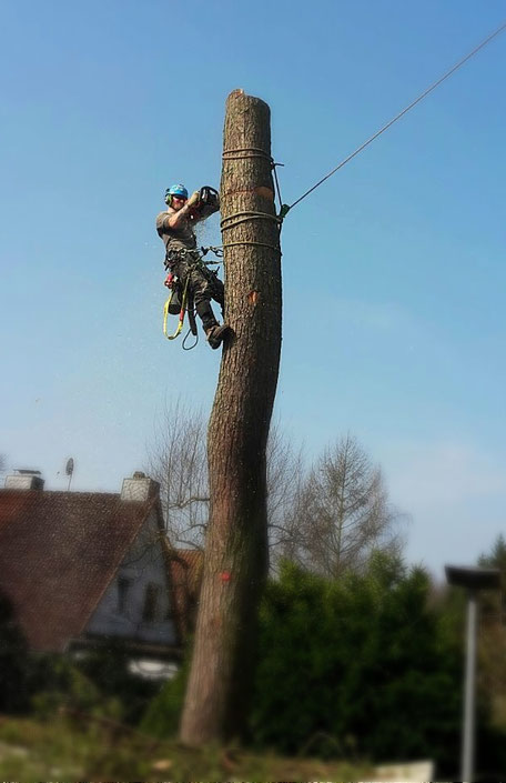 Baumfällung mit Seilklettertechnik