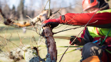 Baumpflege Seilkletterer