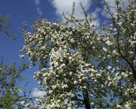 Bild blühender Baum im Garten