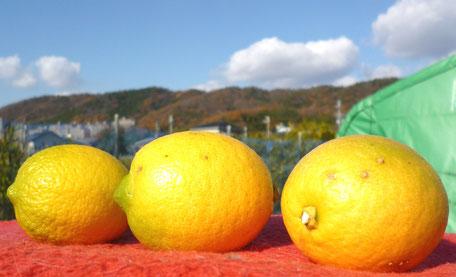 里山が間近に・・白島のレモン園で・・。