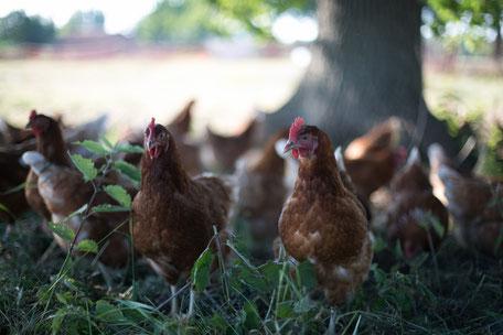 Artgerechte Haltung von Legehennen im Hühnerwald