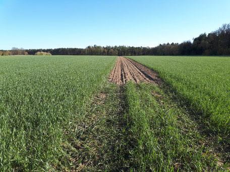 Schwarze Heide: hier wächst eine doppelte Reihe Pappeln als Windschutz in unserem Agroforstsystem mitten auf dem Acker
