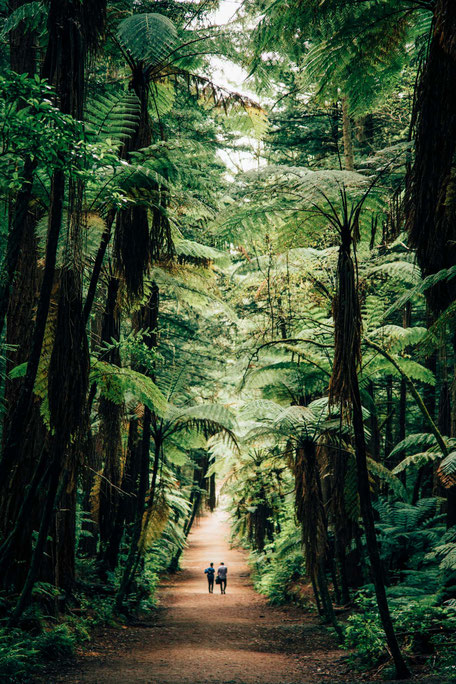 Redwood forest, Rotorua, New Zealand