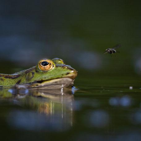 Wasserfrosch mit Fliege fotografiert von André Marti mit einer Canon EOS 90D