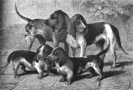 Grand bleu de Gascogne (hinten) und Chien de Saintonge (vorne) Zeichnung von R. Brendamour, 1894 (aus Enzyklopädie der Jagdhunde, H. Räber)
