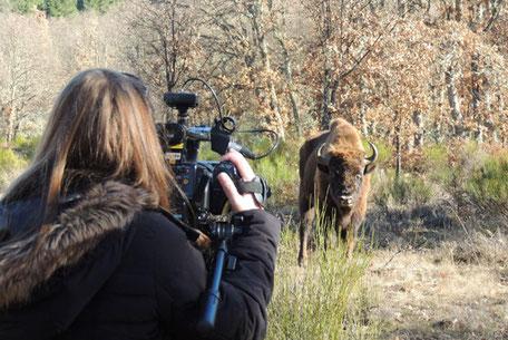 Acercamiento a bisontes en visita personalizada