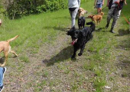 Hundewanderung fröhlicher Hovawart
