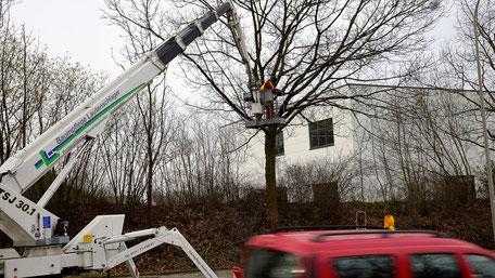 Baumpflege mittels Hubarbeitsbühne