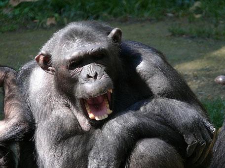les chimpanzés rient et font des grimaces
