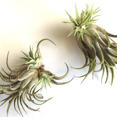 Tillandsia I. Rubra Clump by PASiNGA