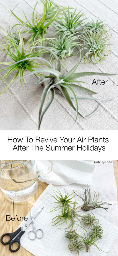 How to reive your Air Plants after the summer Holidays, step by step tips and tricks by PASiNGA blog