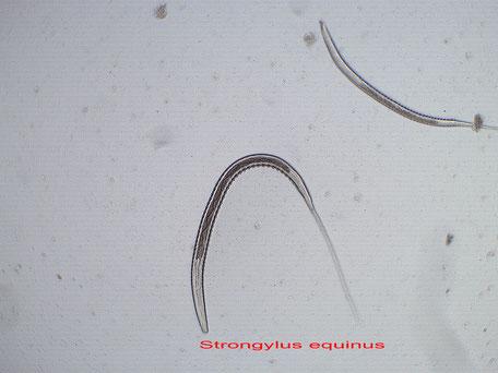 Larve von kleinen Strongyliden im dritten, für Pferde infektiösen Stadium nach einer Larvenanzucht.