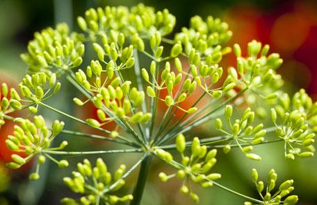 Foto einer blühenden Pflanze, Sempf