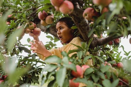 Cueillette des pommes et des coins à la Ferme de la Licharié, L'amour dans le pré 2020, séjour en famille en Pays de Cocagne Terres d'Autan, Office de tourisme Dourgne et Puylaurens
