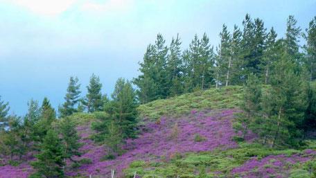 Floraison de la callune dans les Cévennes