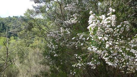 Haute Cévenne. Bruyère arborescente ou bruyère blanche ou Erica arborea