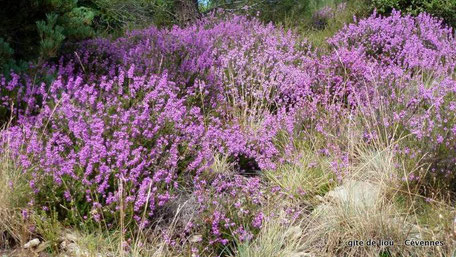 Floraison des bruyères en Cévennes