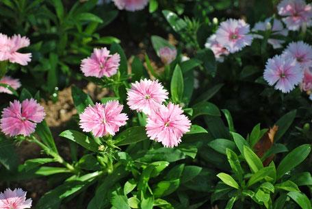 ナデシコの花言葉は「貞節」